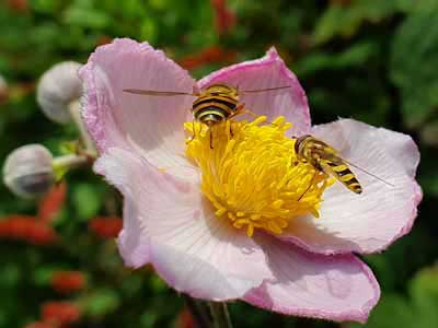 Anemone-and-hover-fly