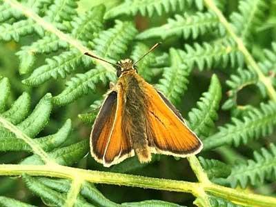 Butterfly - Small Skipper
