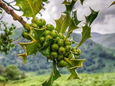 HOLLY BERRIES - Waiting for Christmas!