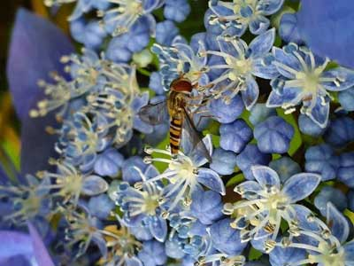 A Hover fly sitting on a Hydrangea