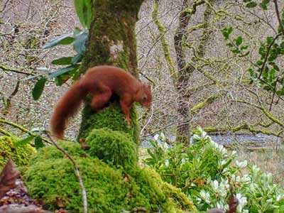 Red Squirrel at Cote How