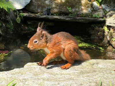 Red Squirrel in the garden at Cote How