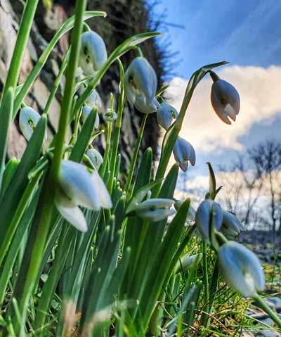 Snow drops at Cote How