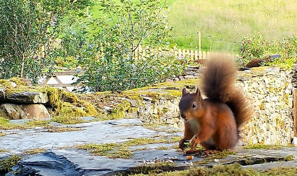 Red Squirrel wedding gatecrasher